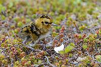 Newly hatched Red Phalarope (Phalaropus fulicarius) chick. Yukon Delta National Wildlife Refuge, Alaska. June.