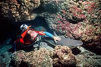 scuba diver strokes sleeping Caribbean reef shark, Carcharhinus perezii, resting in cave, Bahamas, Caribbean Sea, Atlantic Ocean