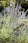 Sage in garden setting.