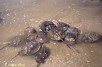1Y47-166x  Horseshoe Crab - mating on beach at high spring tide -  Limulus polyphemus