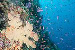 Bligh Waters, Rakiraki, Viti Levu, Fiji; an aggregation of Anthias fish swim above a large yellow soft coral on the wall of the Mellow Yellow dive site