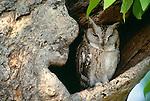 Indian scops owl, India