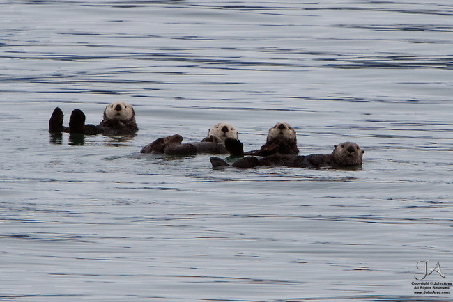 Raft of four Sea Otters in Prince William Sound, Alaska
