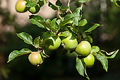 Kingston, England. Five green apples hanging off a tree.