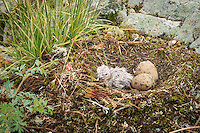 """""""New Life: Gull Chick""""<br /> <br /> Still wet from hatching, this gull chick eyed the world for the first time. Its sibling has a small peep hole in its shell and joined the noisy rookery later that morning.<br /> ~ Day 94 of Inspired by Wilderness: A Four Season Solo Canoe Journey"""