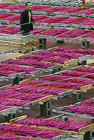 A worker walks through racks of incese out to dry at the Meizhengxiang Incense Factory near Xiamen, Fujian Province, China. As religous life increasingly becomes an important part of China, businesses related to religion such as Buddhism and Daoism have flourished. The factories have seen its sales quadruple since its establishment in 1996, reaching euro 5 million in 2003. The factory now employs over 200 workers, mostly migrants from Sichuan and Jiangxi Province..17-MAR-04