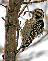 Adult female ladder-backed woodpecker with worm found in dead tree