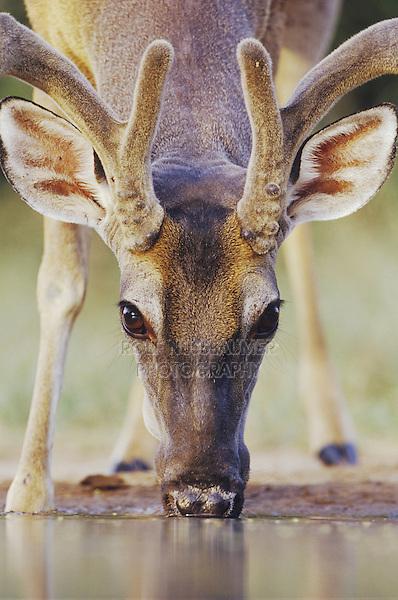 White-tailed Deer, Odocoileus virginianus, buck drinking, Rio Grande Valley, Texas, USA, May 2004