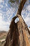 Judean mountains. Mediterranean Hackberry (Celtis Australis) in Yabrud