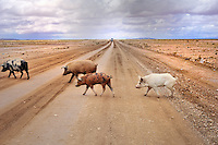 BOLIVIA - UYUNI - Ollague<br /> Feral domestic pigs on the gravel road <br /> <br /> Full lsize: 63,7 MB