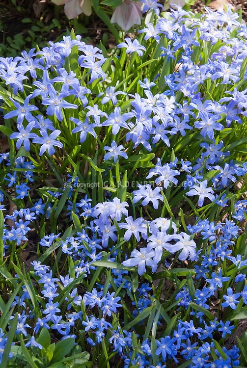 Blue flowers of bulbs Chionodoxa lucilae and sardensis in spring bloom
