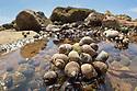 Rough Periwinkles (Littorina saxatilis) exposed in rock pool at low tide. Branscombe Beach, Devon. June.