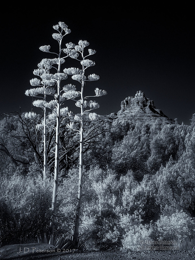 Three Century Plants near Bell Rock (Infrared) ©2017 James D Peterson.  It's very unusual to find even two Century Plants (aka Agaves) growing so close together; they generally like to keep their distance from each other.  But these three, along the iconic Bell Rock Pathway south of Sedona, Arizona, must have missed the memo.