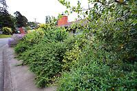 Privacy hedge by sidewalk in California native plant garden, Schino