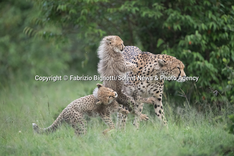 SEQUENCE 6 OF 15:  A young cub takes a tumble as he tries to crawl up his mother's back.  The small African cheetah falls on its paws after being shoved to the ground by its jealous sibling.<br /> <br /> Wrestling each other on the uncut grass, the cubs try to grab their mother's attention.  Amateur photographer Fabrizio Bignotti captured the cubs playing near their mother at Masai Mara National Reserve, Kenya.  SEE OUR COPY FOR DETAILS.<br /> <br /> Please byline: Fabrizio Bignotti/Solent News<br /> <br /> © Fabrizio Bignotti/Solent News & Photo Agency<br /> UK +44 (0) 2380 458800