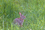 Eastern cottontail rabbit in a northern Wisconsin meadow.