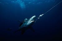 Diver examining live hooked Oceanic Blacktip Shark, Carcharhinus limbatus, . Cocos Island, Costa Rica - Pacific Ocean