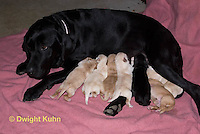 SH36-553z Black Lab Mother and new born litter. Genetic variation of black, yellow and white puppies, Labrador Retriever.