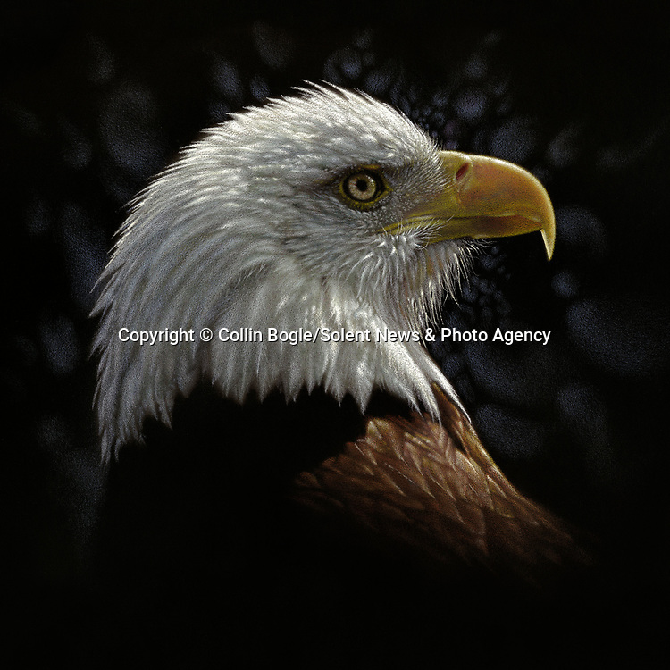 """NOTE FOR ONLINE:  MAXIMUM OF 10 IMAGES TO RUN ALONGSIDE THIS STORY - UNLESS OTHERWISE AGREED WITH A REVISED FEE IN PLACE.<br /> <br /> Pictured:  One of Collin Bogle's realistic paintings: Bald Eagle Portrait<br /> <br /> These intricately detailed pictures of wild animals look like photographs - but are in fact paintings.  American artist Collin Bogle's extraordinary work portrays close up encounters with animals such as lions, snow leopards, wolves, eagles and bears.<br /> <br /> He uses photos of the animals as a reference and spends between two weeks and two months painstakingly creating each piece.  Mr Bogle, who works out of his home in Seattle, Washington, in the United States, said: """"My dad is an artist and was also a high school art teacher - so I started learning to paint as soon as I could hold a brush.  SEE OUR COPY FOR DETAILS.<br /> <br /> Please byline: Collin Bogle/Solent News<br /> <br /> © Collin Bogle/Solent News & Photo Agency<br /> UK +44 (0) 2380 458800"""