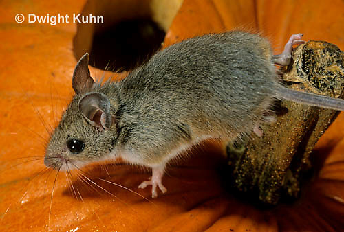 MU59-036z  White-Footed Mouse - on Jack-o-lantern -  Peromyscus leucopus