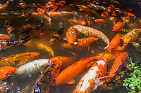 Hungry koi (or carp) being fed at Byodo-In Temple at the Valley of the Temples Memorial Park, Kane'ohe, O'ahu.