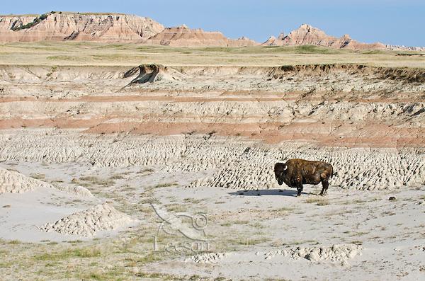 Old American Bison bull (Bison bison) roaming the Sage Creek Wilderness in Badlands National Park, South Dakota. Spring.
