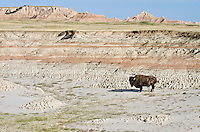 Old American Bison bull (Bison bison) roaming the Sage Creek Wilderness in Badlands National Park, South Dakota. Spring.