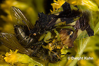 AM06-562z  Ambush Bugs mating while male and female both feed on insect, goldenrod flowers, Phymata americana