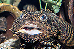 oyster toadfish mouth open