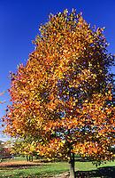 Amerikanischer Tulpenbaum, Tulpen-Baum, Herbstlaub, Herbstverfärbung, Magnolie, Liriodendron tulipifera, Canary Whitewood, Tulip Polar, Tulip Tree