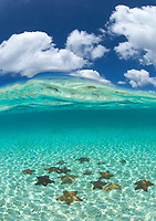 Split level starfish<br /> Pincushion starfish<br /> St. John<br /> Virgin Islands Pincushion Starfish<br /> Virgin Islands