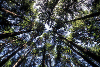 AJ3663, Olympic National Park, tree, forest, Washington, Olympic peninsula, Looking up at the tall trees in Olympic National Park in the state of Washington.