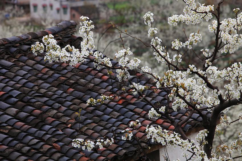 Un poirier sur le toit de tuiles traditionnelles. Image de la Chine éternelle.///A pear tree on a roof of traditional tiles: an image of the eternal China.