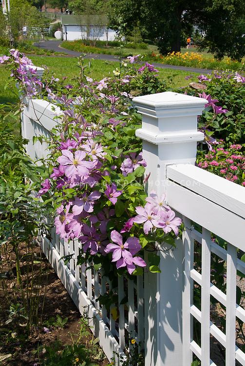 Clematis on white fence, pink flowering perennial climbing vine