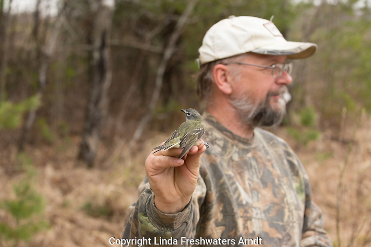 Yellow-bellied flycatcher recovered from a mist net