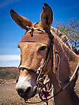 Bridled Jackass, Baja California