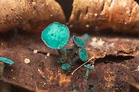 Green Elfcup (Chlorociboria aeruginascens) fungus growing on a rotting tree branch.