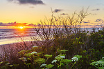 Sunset over Kalaloch Beach, foreground of flowering Sea Watch (Angelica lucida).  Kalaloch Beach in Olympic National Park, Washington.  Beaches in the Kalaloch area of Olympic National Park, identified by trail numbers, are remote and wild.  Olympic Peninsula, Olympic Mountains, Olympic National Park, Washington State, USA.