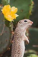 Mexican Ground Squirrel (Spermophilus mexicanus), adult standing up next to Texas Prickly Pear Cactus (Opuntia lindheimeri), Rio Grande Valley, Texas, USA