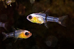 Apogon townsendi, Belted cardinalfish, Statia