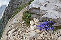 Zois' Bellflower {Campanula zoysii} growing on limestone scree. Triglav National Park,  Julian Alps, 2000m, Slovenia. July.