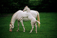 A white foal and his mother at Patchen Wilkes farm are extremely rare in the world.  Only 16 white thoroughbreds have been recorded in the studbook in 107 years out of more than 1.7 million registered. The farm has bred several generations that are genetically bred to be white--not albino. <br /> The mare and foal descend from the first non-albino white thoroughbred registered in 1963--White Beauty. Patchen Beauty raced in the mid-1990s.