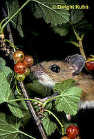 MU50-026z   White-Footed Mouse - eating berries -  Peromyscus leucopus