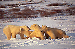 Polar bears at play