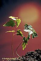 TT12-032b  Phototropism - red maple seedlings bending towards light - Acer rubrum