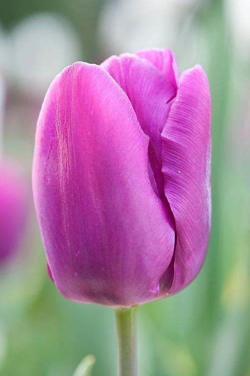 Tulipa 'Purple Prince', early April.