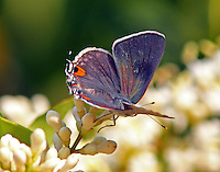 Gray hairstreak at blooming ligustrum