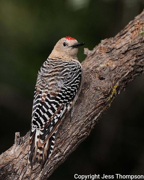Gila Woodpecker, Southeastern Arizona