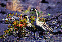 Two nene geese at Hawaii volcanoes national park near native ohelo berries