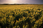 The setting sun in a remote wheatfield in the Palouse of Eastern Washington gives a feeling of peace and serenity.